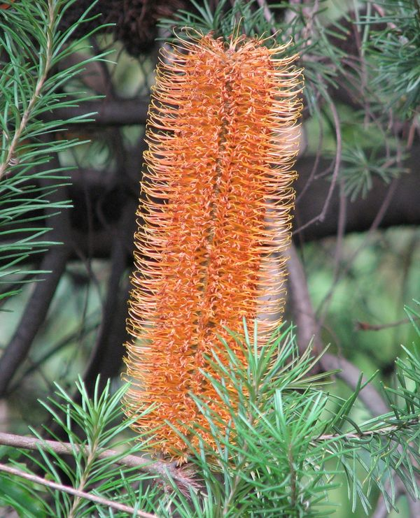 Banksia Giant Candles