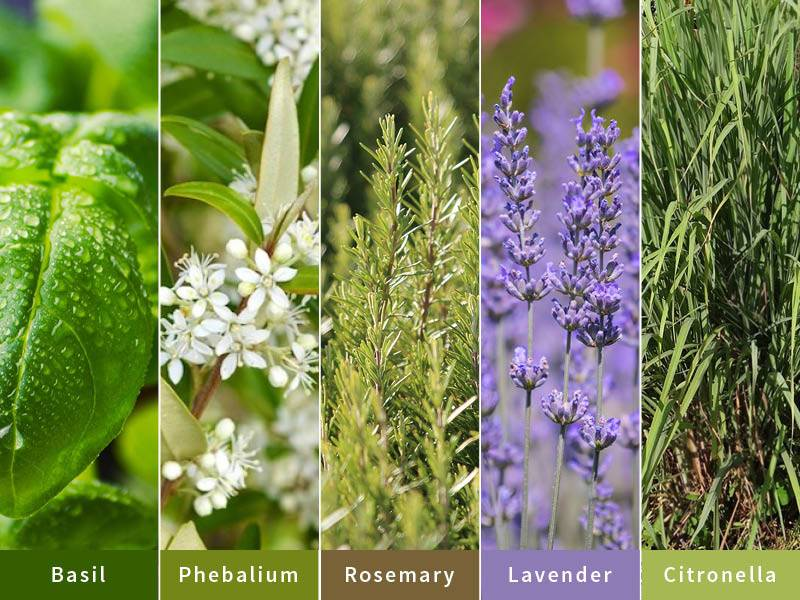 Keep the Mozzies Away From Your Outdoor Entertaining Area - Basil, Phebalium, Rosmary, Lavender, Citronella, Australian Outdoor Living.