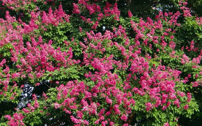 Make Your Eco-Garden Gorgeous with these Water-Saving Plants - Crepe Myrtle, Australian Outdoor Living.