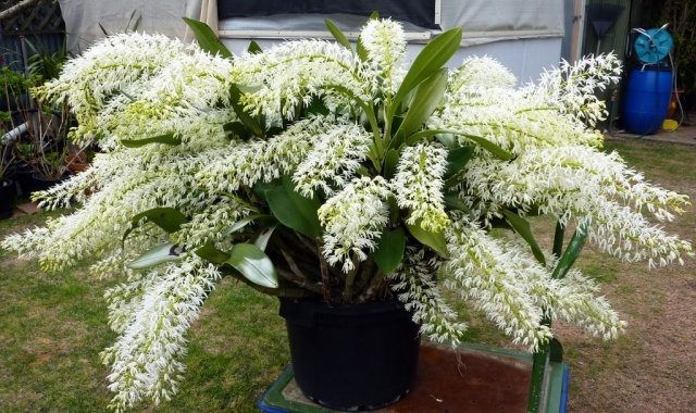 How to Grow Australian Native Orchids in Your Backyard - Dendrobium Speciosum (Rock Orchid), Australian Outdoor Living.