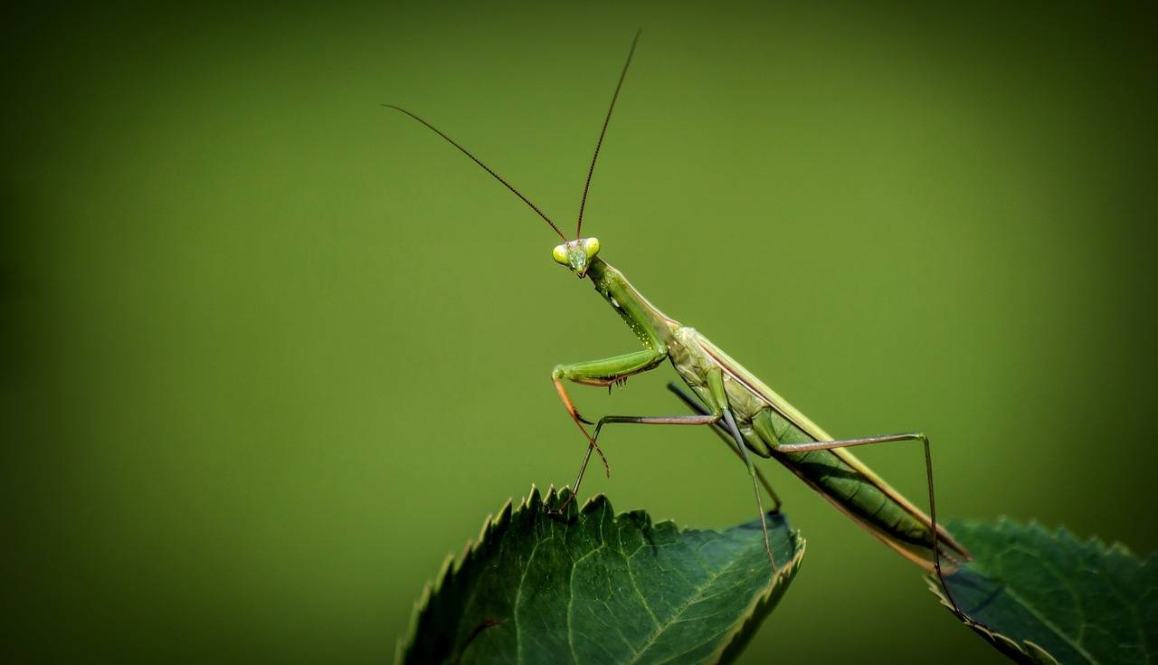Simple ways to protect your backyard from pests - A praying mantis is a good insect to have in your backyard, Australian Outdoor Living.