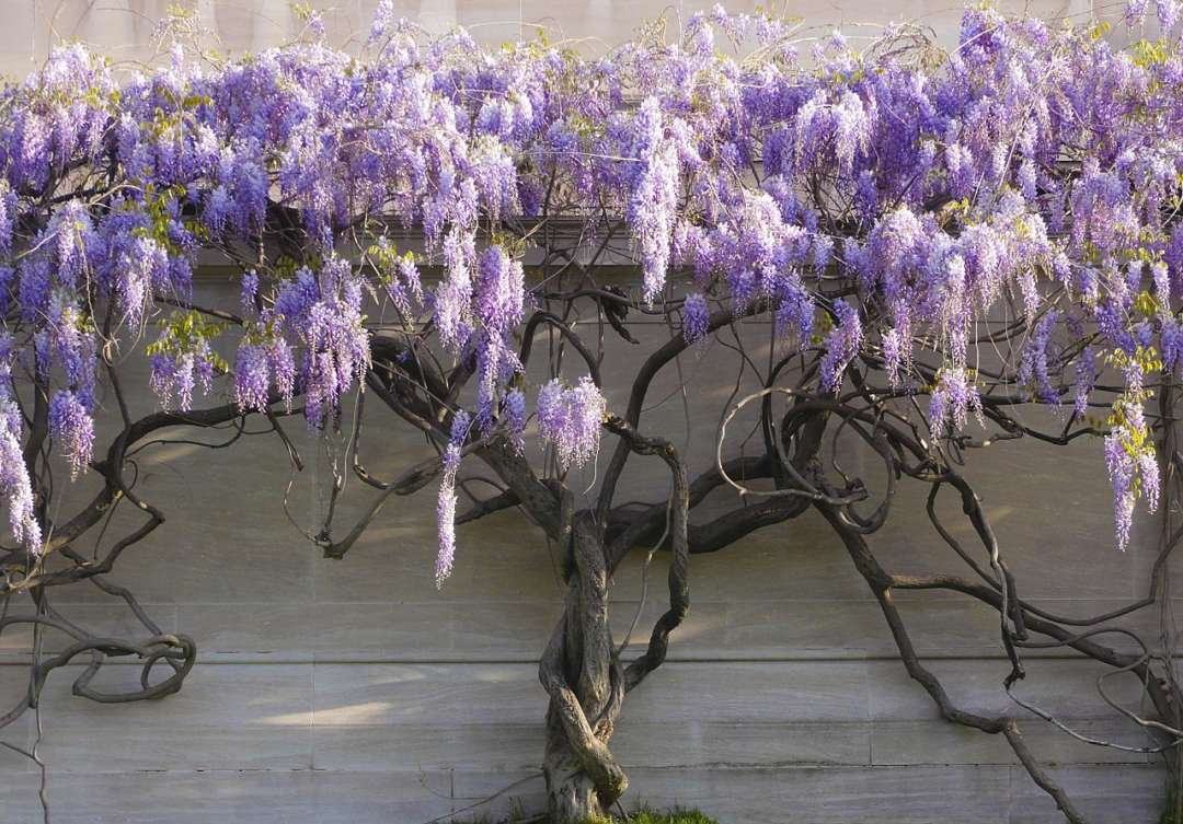 Best smelling flowers for your garden - Wisteria, Australian Outdoor Living.